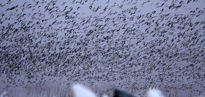 Missouri Snow Goose Hunting - Spring Snow Goose Hunting