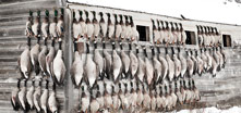 Saskatchewan - Canada - Waterfowl Hunting - Duck Hunts